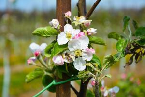 sady-zivotice-obnova-sadu-kvet-vcela